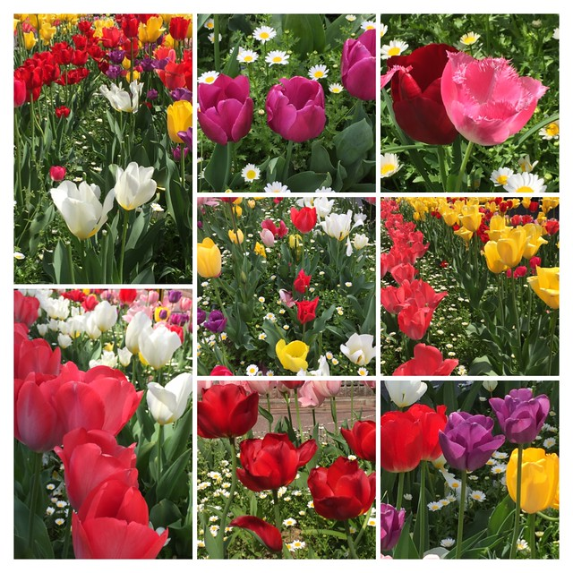 Beautiful tulip - collage