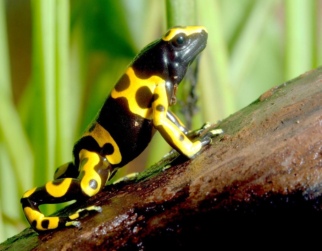 Bumblebee Poison Dart Frog_2