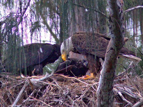 Bald Eagle 2 adults 2 eaglets 07-20170414