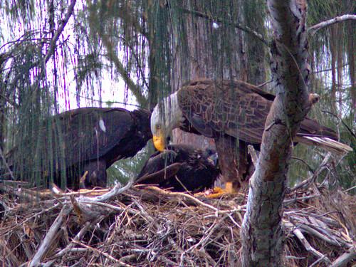 Bald Eagle 2 adults 2 eaglets 07-20170414