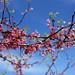 Red buds, Blue Sky