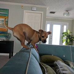 Buddy is playing King of the couch