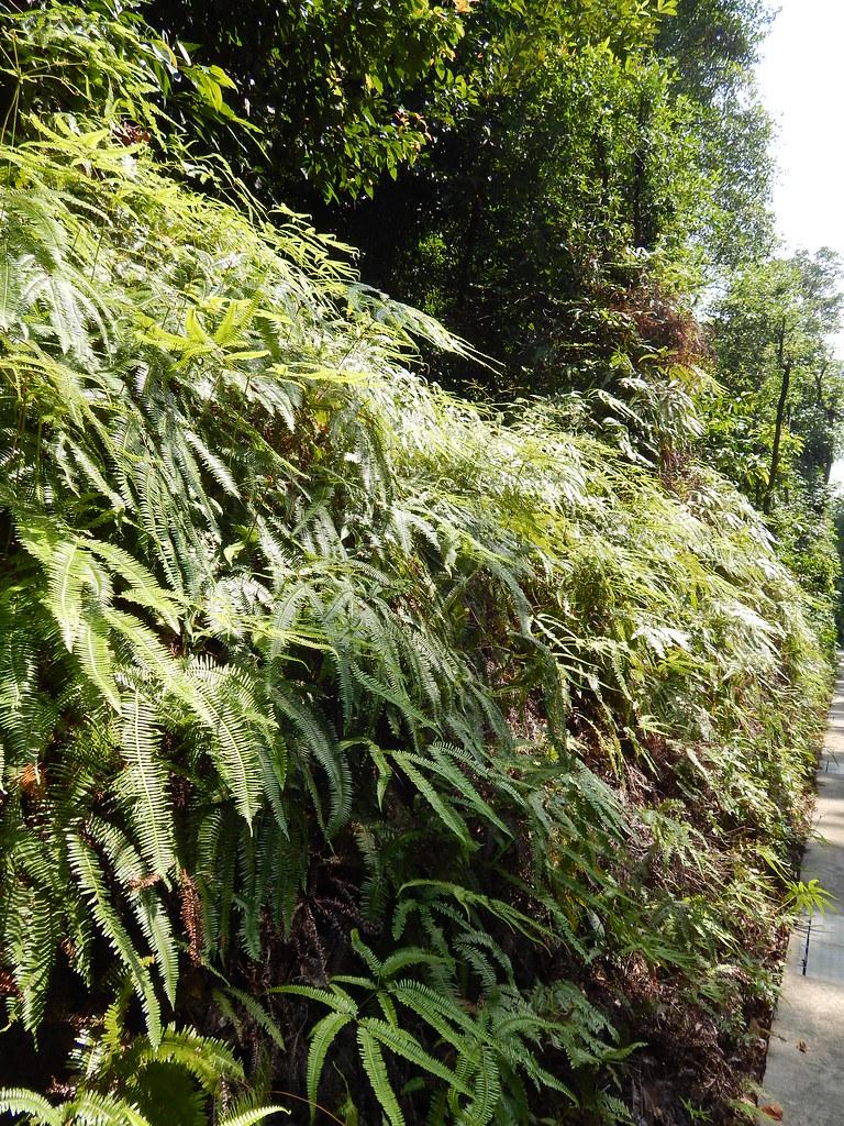 Nepenthes rafflesiana (Raffles' pitcher plant); habitat; Sentosa Island, Singapore