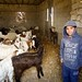Livestock - West Bank