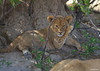 An adorable lion cub in Davison Camp, Zimbabwe