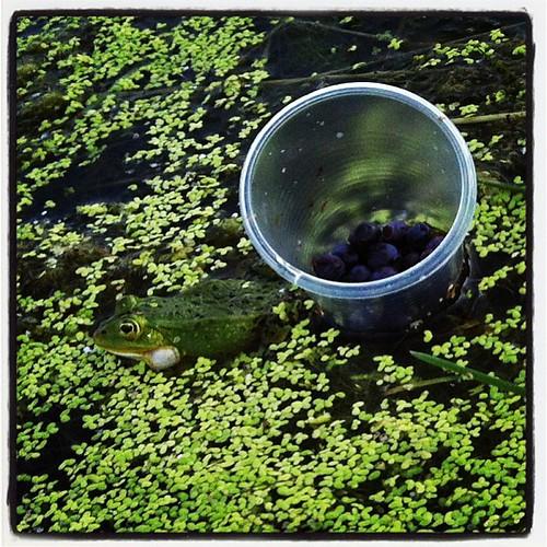 #frog #blueberries
