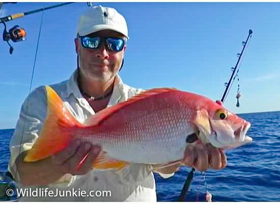 Yellow Eye Snapper