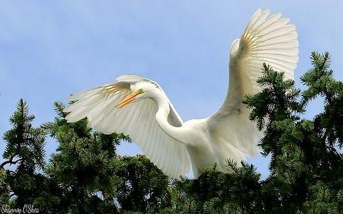 york pennsylvania egret bestviewintown canoneosrebelt2i shannonroseoshea photocontesttnc13 kiwanisparkandrookery