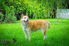 dog breed, animal, akita inu, akita, dog, grass, pet, norwegian buhund, mammal, east siberian laika, korean jindo dog, wolfdog, norwegian lundehund, lawn, icelandic sheepdog,