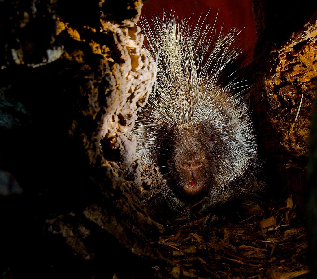 North American Porcupine (Erethizon dorsatum)_22