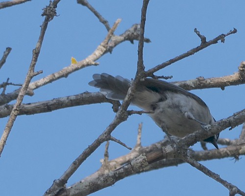 Molting Carolina Chickadee - 2