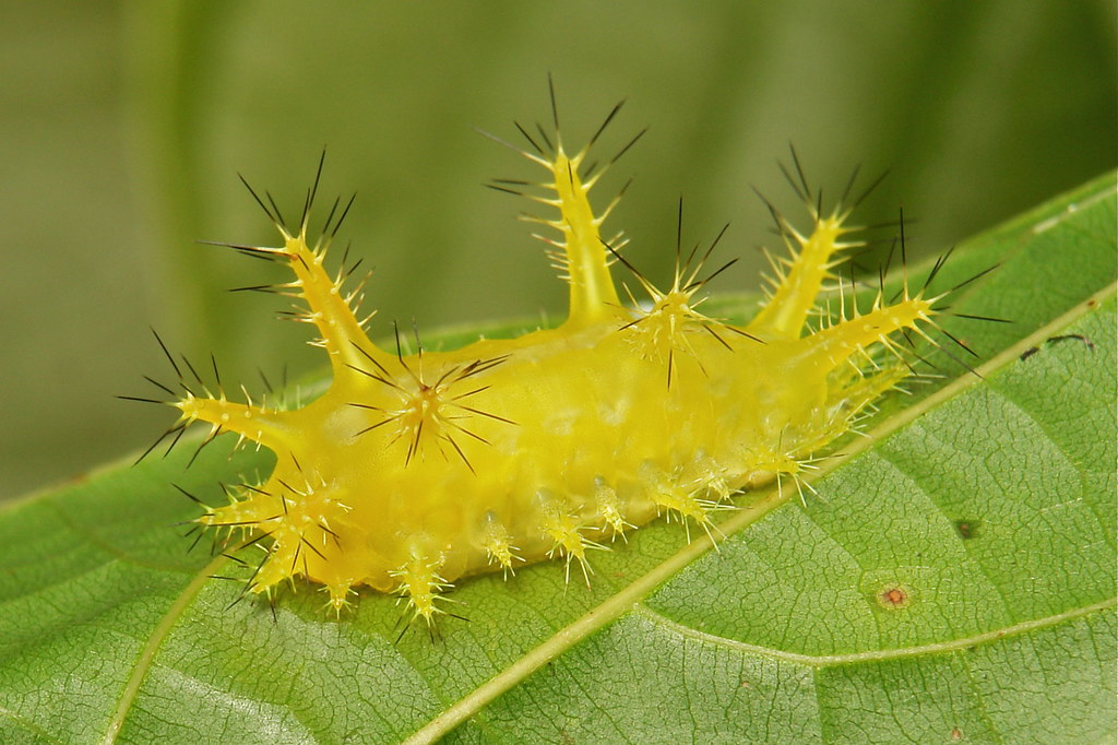 Stinging Nettle Slug Caterpillar (Cup Moth, Phlossa sp., Limacodidae)