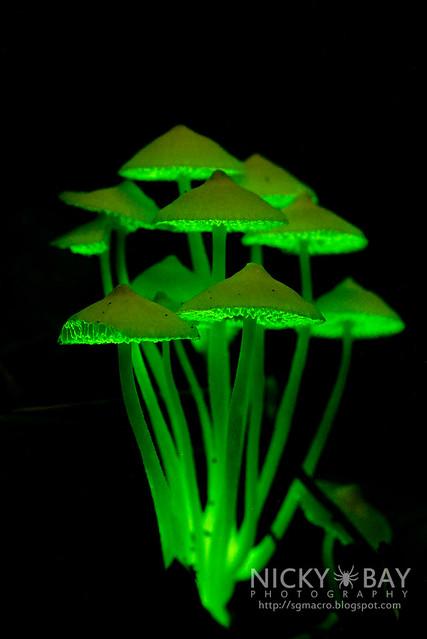 Bioluminescent Fungi (Filoboletus manipularis?) - DSC_2562