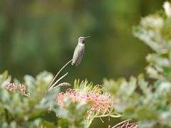 P1770414 Anna's Hummingbird