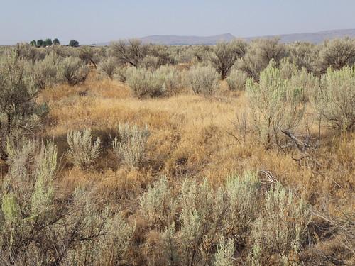 idaho habitat carey cheatgrass bromustectorum disturbedsite sagebrushsteppe artemisiatridentatawyomingensis wyomingbigsagebrushsteppe