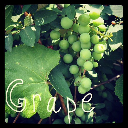 Garden Alphabet: Grape | A Gardener's Notebook with Douglas E. Welch