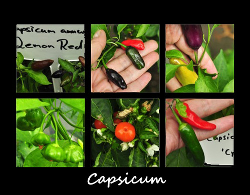 Scharf scharfe Früchtchen Paprika Chili Peperoni pikant Schärfe Küche kochen