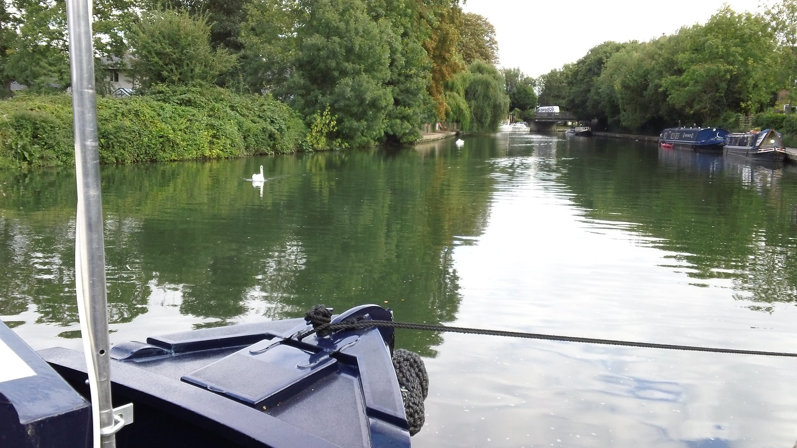 Hungry swans near Stanstead Lock from canal boat mooring