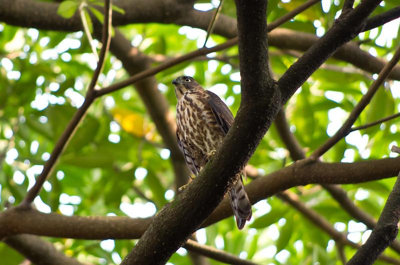 KIT之拍得不是很優的松雀鷹