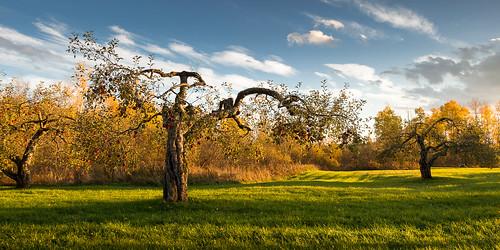 automne lumière couleurs pommes arbres goldenhour pommier frelighsburg clossaragnat