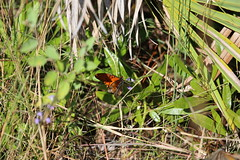 BUTTERFLIES OF FLORIDA