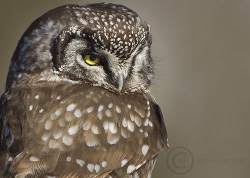 Boreal Owl Portrait