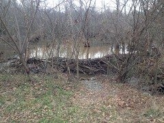 Sope Creek Area Beaver Dam