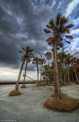 Some unrooted palm trees at lighthouse area