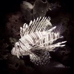Lionfish ~ Pterois (sp?)