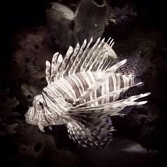 Lionfish ~ Pterois (sp?)