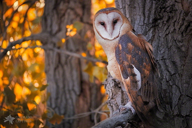 Photographing A Barn Owl On His Autumn Perch Flickr