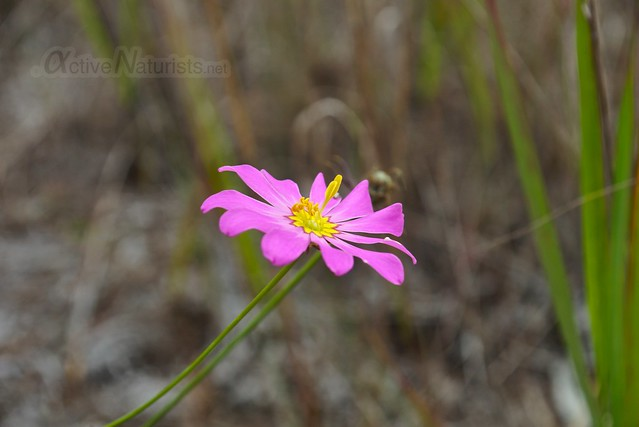 marsh rose (Sabatia) 0000 Big Cypress Preserve, Florida, USA