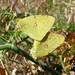 Small photo of Clouded Yellows mating. Colias crocea