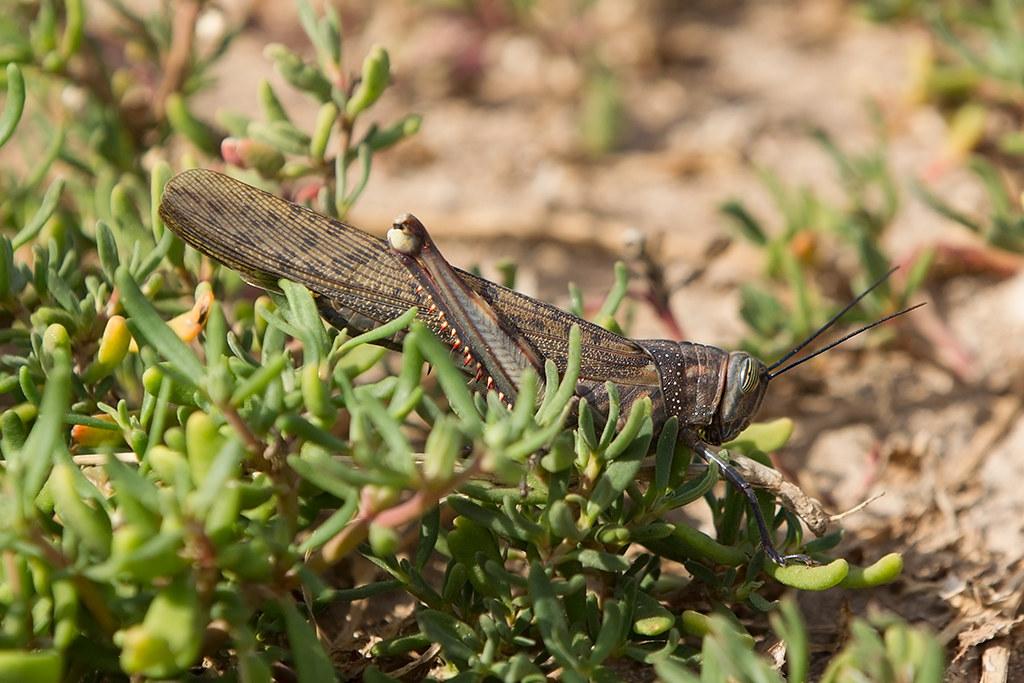 Desert Locust 2014-01-15