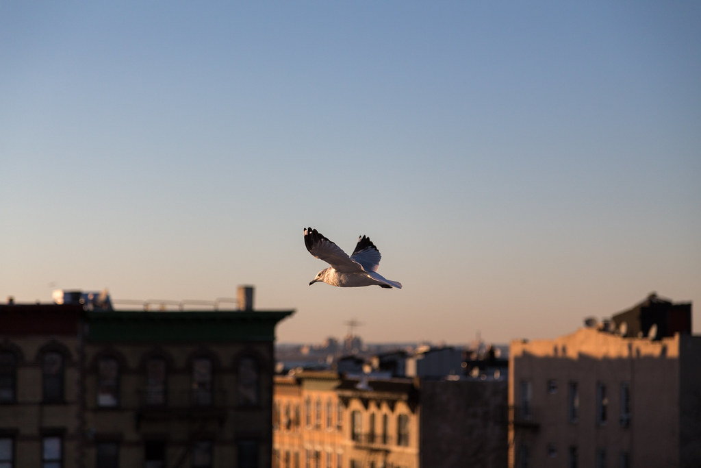 Seagull over Sunset Park