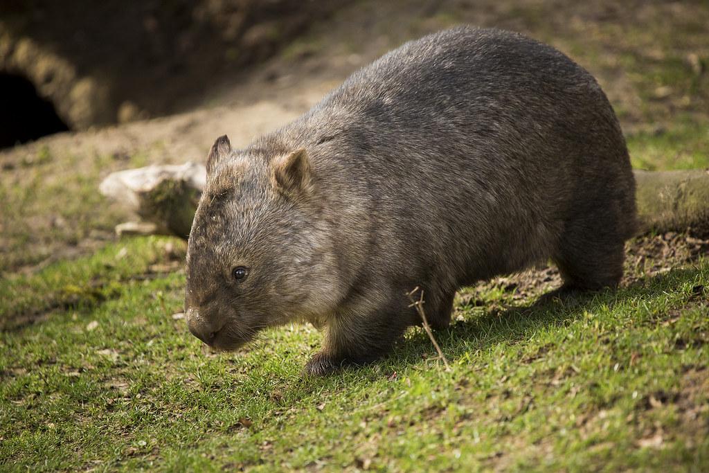 Wombats (Vombatidae, Plumpbeutler)