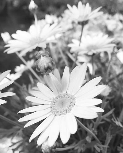 Margaritas es una flor de #primavera #spring #love #instagood #beautiful #nature #amazing #beauty #bestoftheday #photo #pretty #flowers #instalove #awesome #white #instago #spring #all_shots #flower #garden #igaddict #plants #floral #flowerstagram #margar