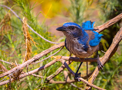 California  Scrub-Jay Inceville Los Liones Canyon Los Angeles 006