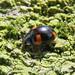 Pine Ladybird, Kingmoor Nature Reserve, 24 April 17