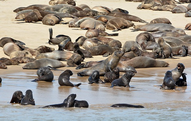 Cape fur seals on the sand spit around Walvis Bay, West coast of Namibia.
