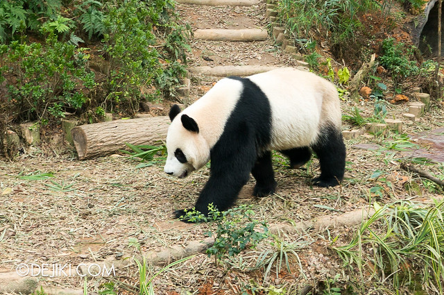 River Safari - Giant Panda Forest / Jia Jia