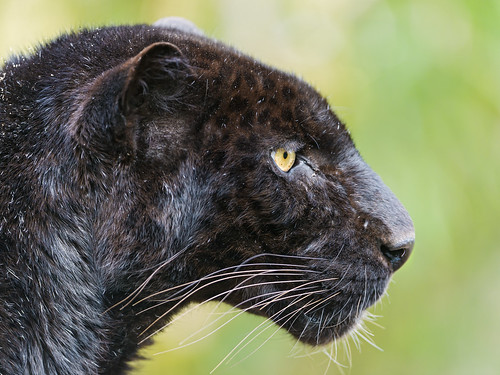 Profile of a black leopard by Tambako the Jaguar