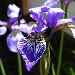 iris(0.0), eye(0.0), organ(0.0), iris(1.0), flower(1.0), iris versicolor(1.0), purple(1.0), plant(1.0), macro photography(1.0), wildflower(1.0), flora(1.0), close-up(1.0), plant stem(1.0), petal(1.0),