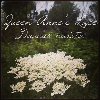 Garden Alphabet: Queen Anne's Lace (Daucus carota)