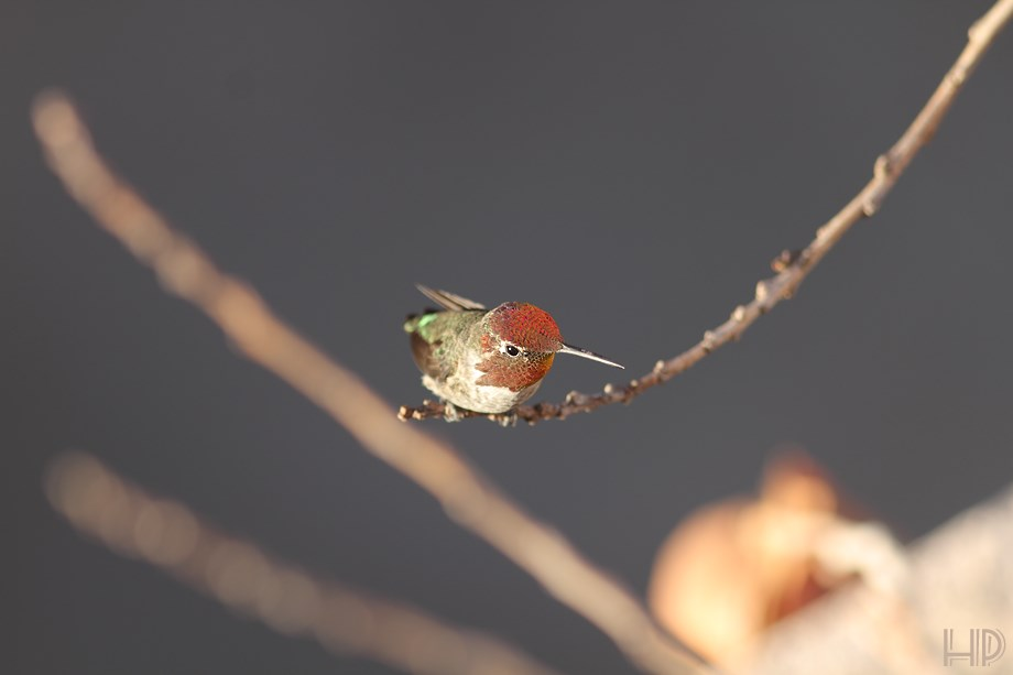 Anna's Hummingbird 072313