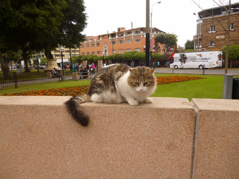 Cat in Miraflores, Lima