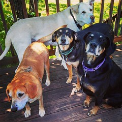 My kids are enjoying this lovely fallish day on the deck... I'm inside taking a class... #dogstagram