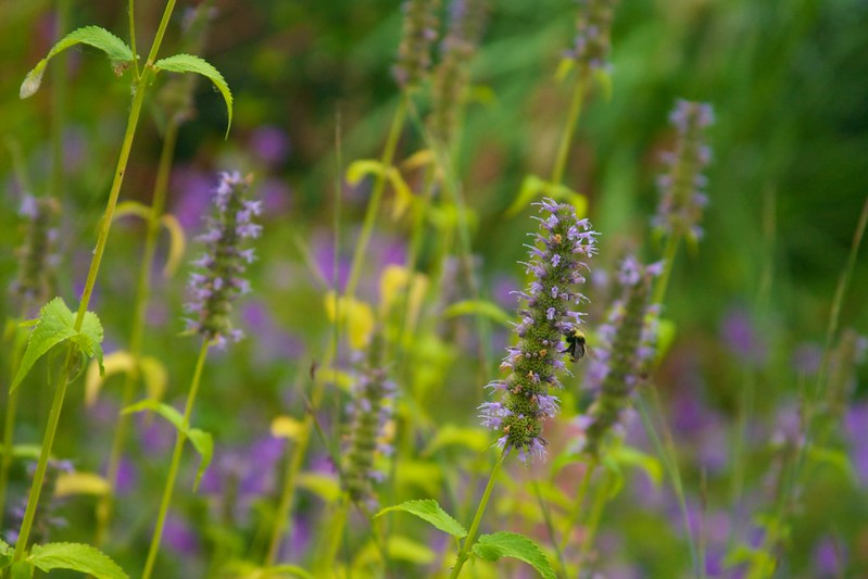 agastache black adder  3462