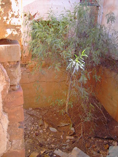Pepper tree growing in the ruins of the Lancelot Hotel in a ghost town in South Australia. Tree growing in former cellar as floor boards gone.