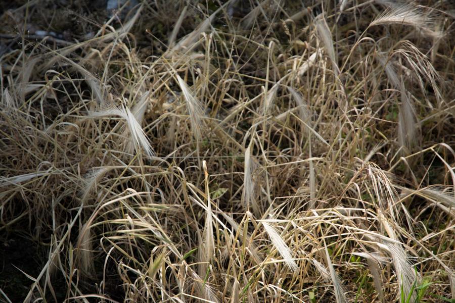 wild dry grass summer